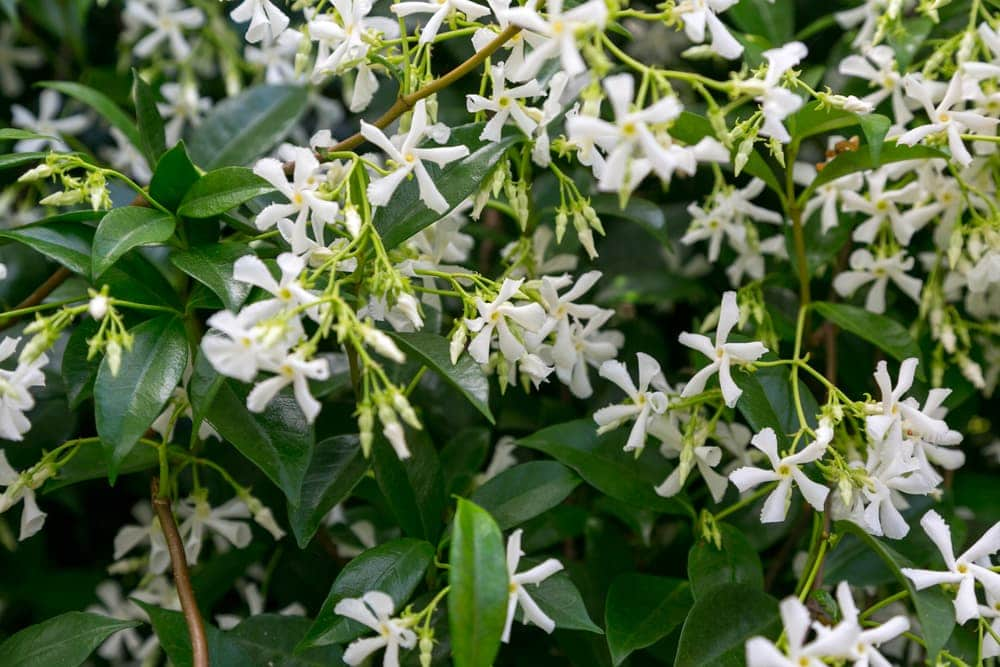white flowers of star jasmine