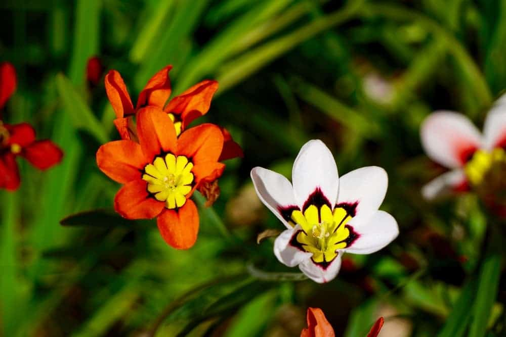 Double California Sparaxis Flowers in orange and white