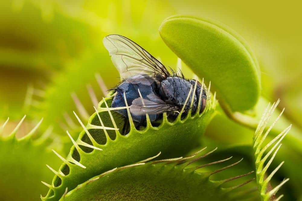 a fly trapped by a venus fly trap plant
