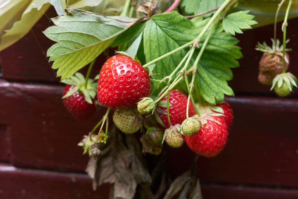 Fragaria x ananassa fruits growing out of a container