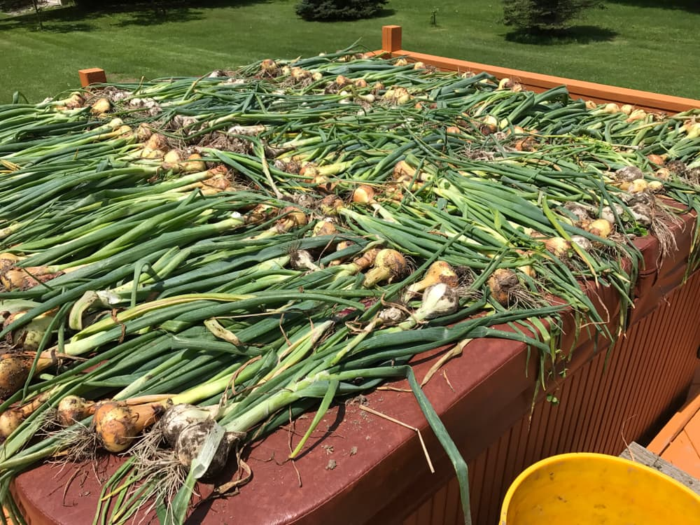 onions curing outside