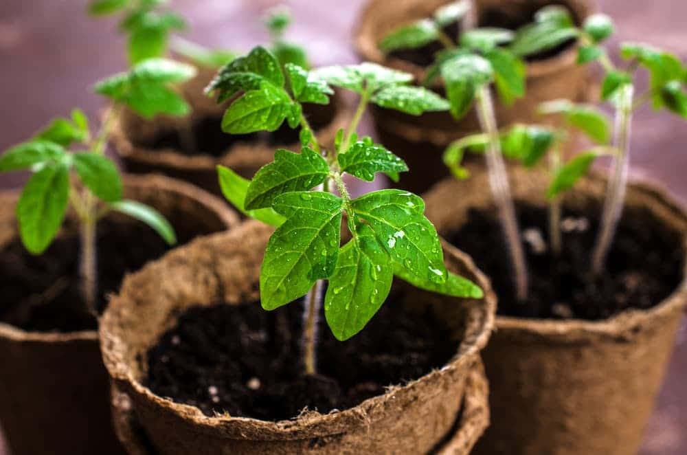 young tomato plant seedlings
