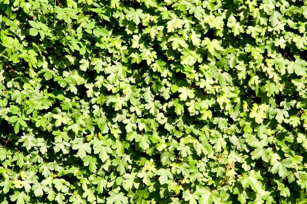 field maple hedge