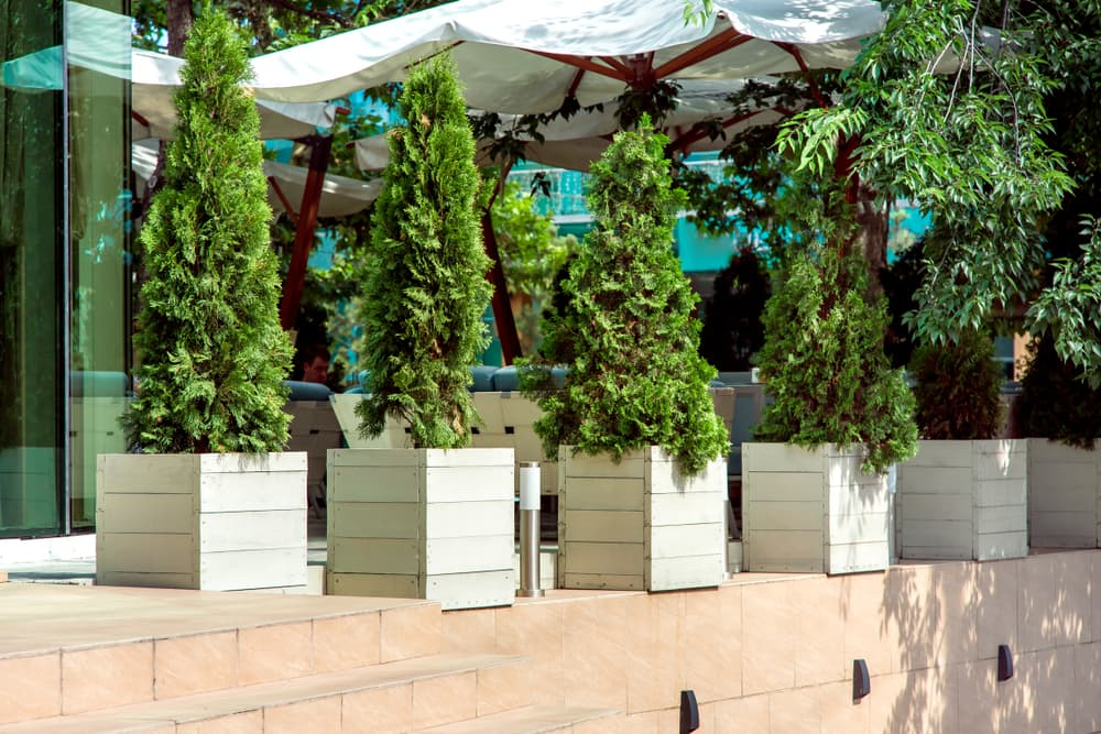 healthy conifers in outdoor containers
