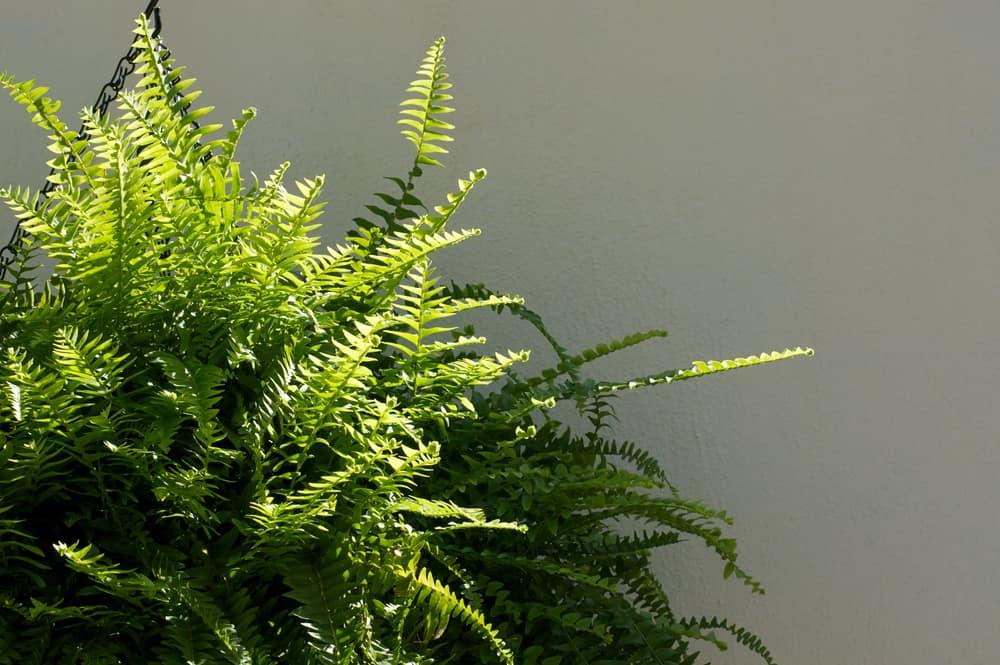 a large Boston fern plant