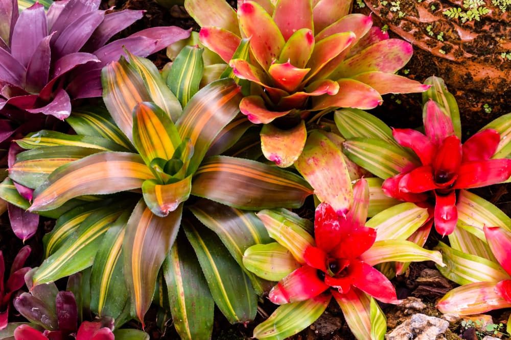 bromeliad in various colours