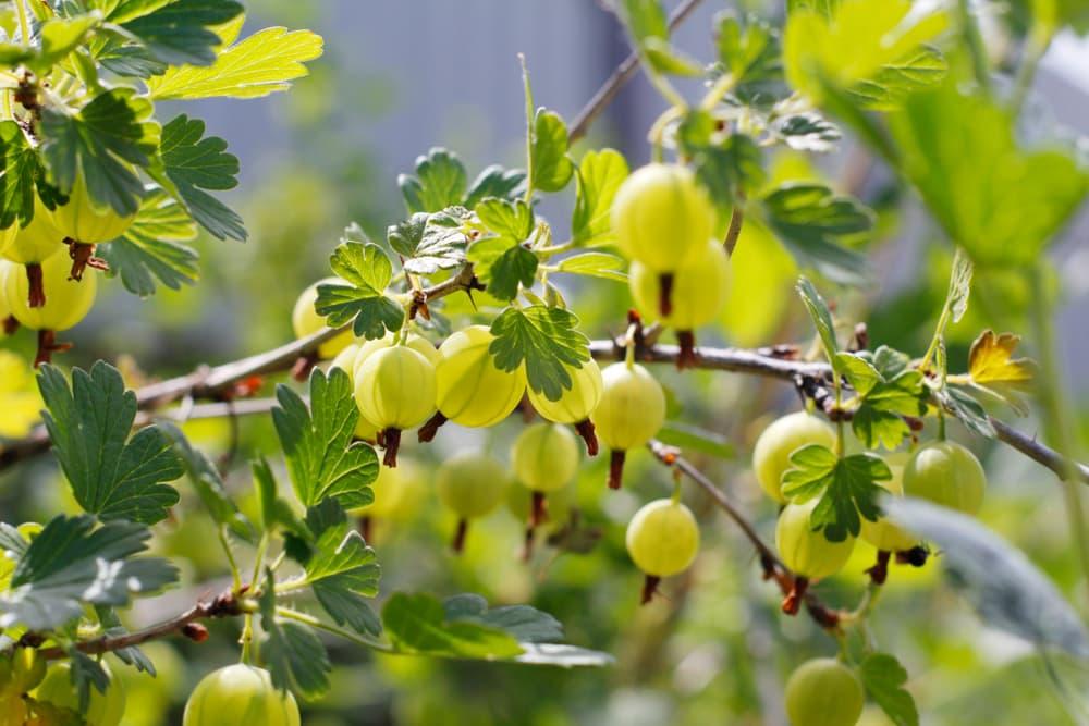 under-ripe gooseberries on the bush