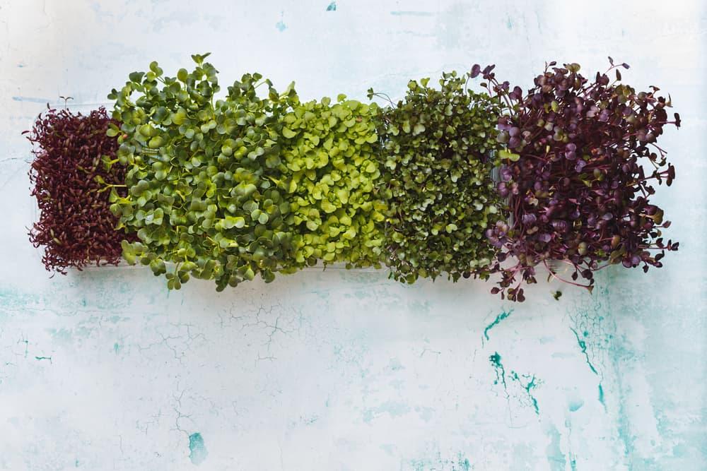 Growing various microgreens in a rectangular box