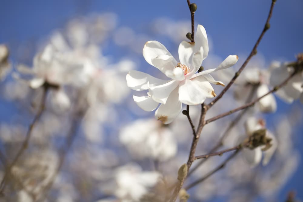 Magnolia x loebneri 'Merill'