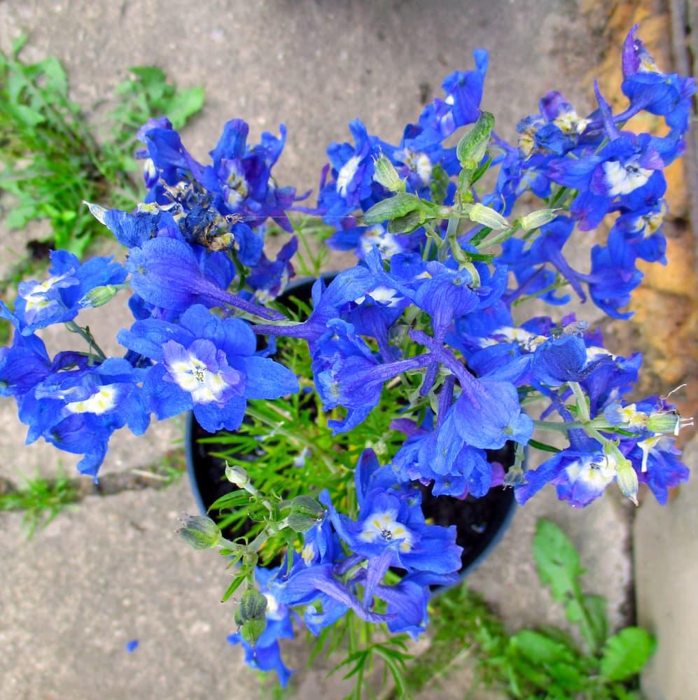 blue delphinium in a garden container