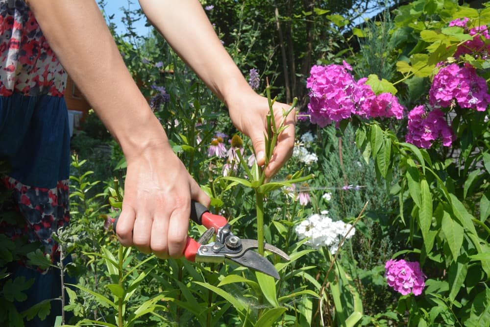 deadheading a lily plant with secateurs