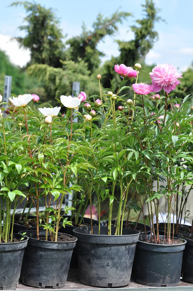 peony plants in black containers