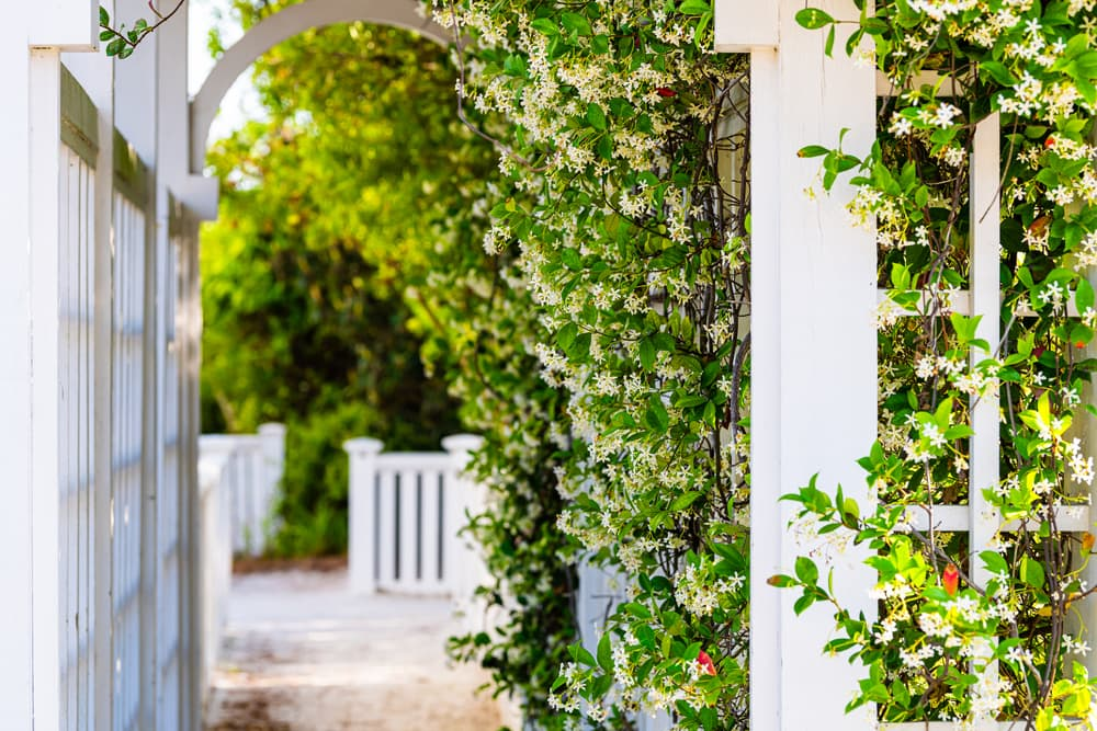 clematis trained against a wooden garden archway