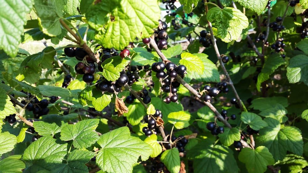a blackcurrant bush in the garden