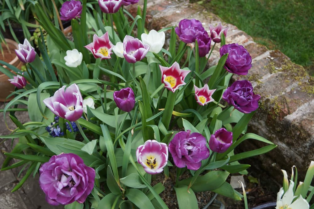 Various coloured tulips flowering in a large garden container