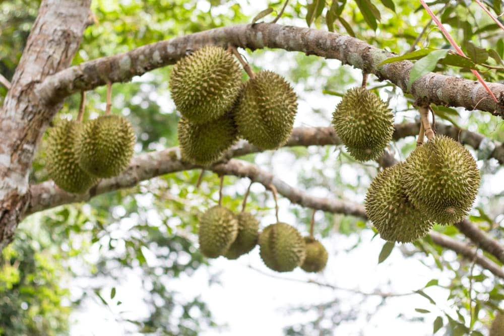 durian fruits hanging from a tree