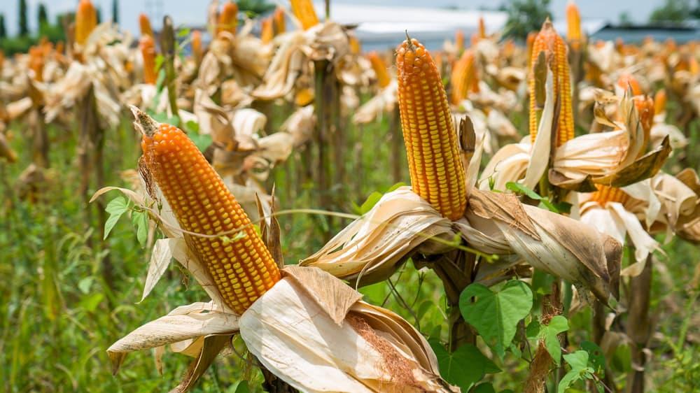 ripe corn growing in a field