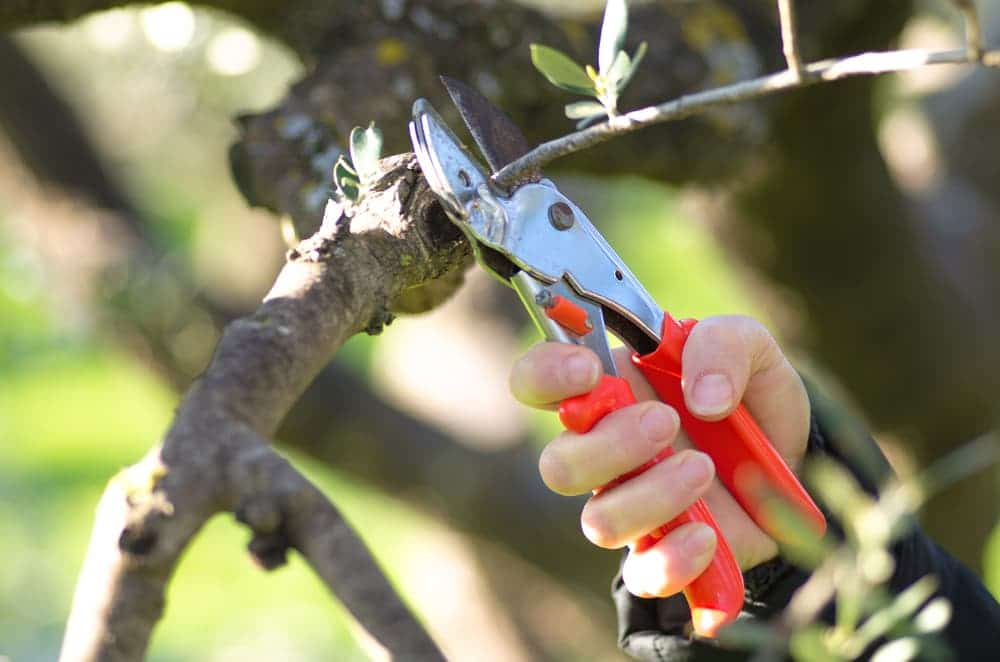 pruning the branches of an olive tree at the base