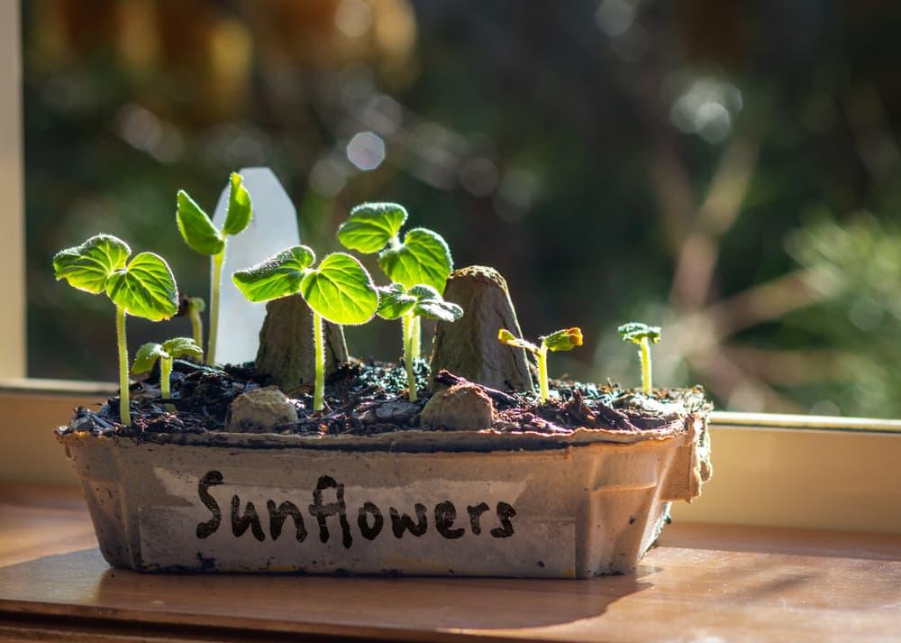 sunflower seedlings growing on a windowsill in an old egg carton
