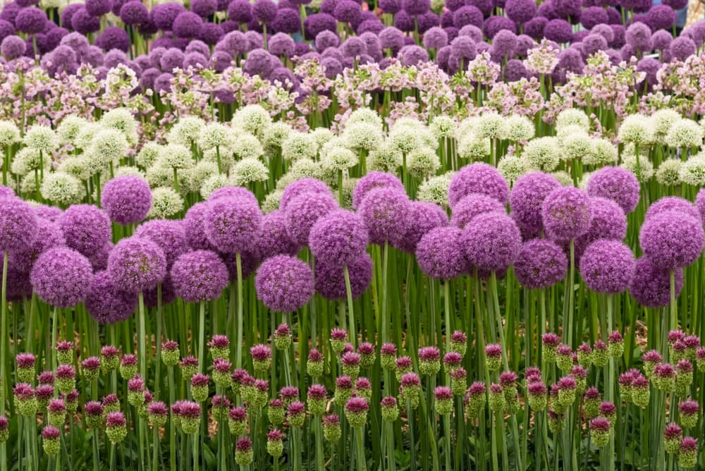 rows of purple and white allium flowers