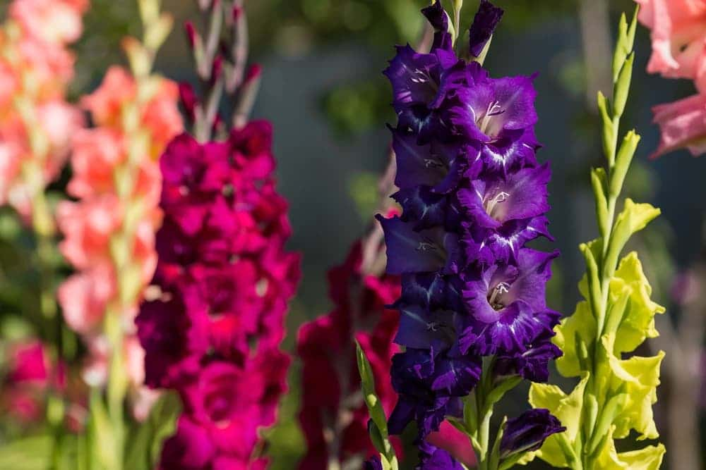 upright gladioli blooms in purple, pink and green
