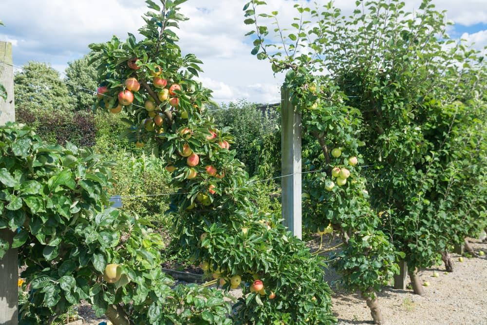 multiple cordoned apple trees in an orchard
