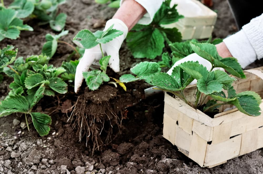 a woman planting out new strawberry plants