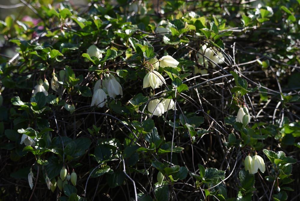 Clematis cirrhosa shrub with white flowers