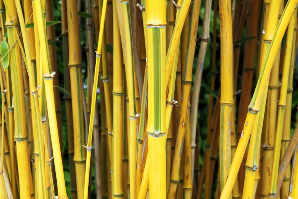 yellow stems of Phyllostachys aureosulcata f. spectabilis