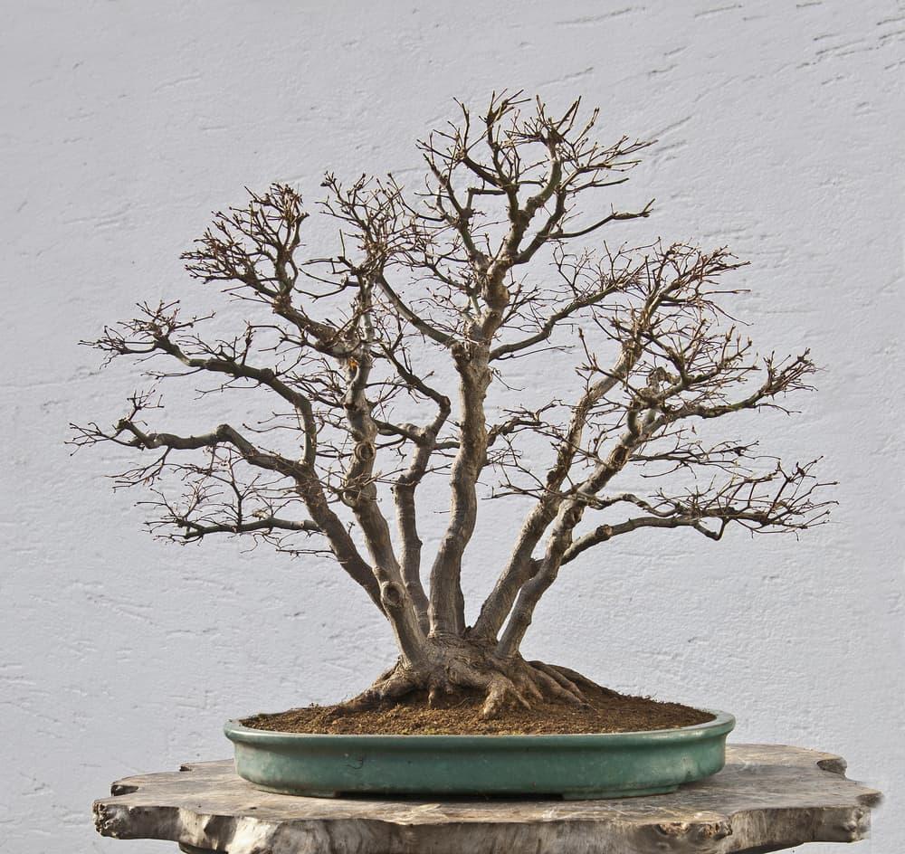 A mountain maple bonsai in winter