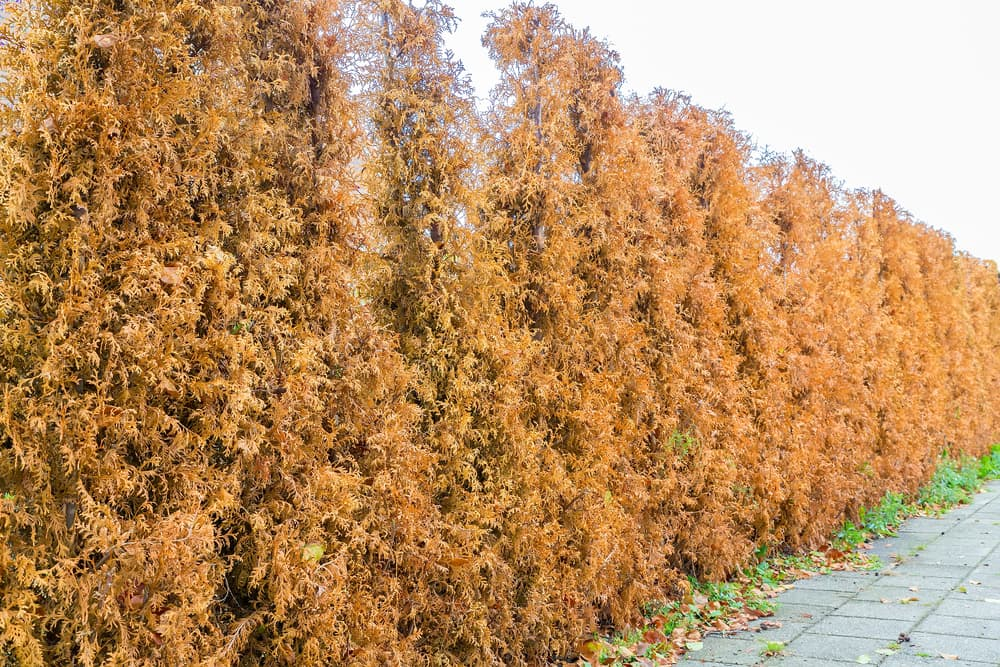 a row of brown and dead conifers