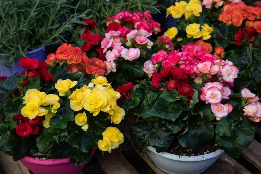 A variety of colourful Begonia plants in pots