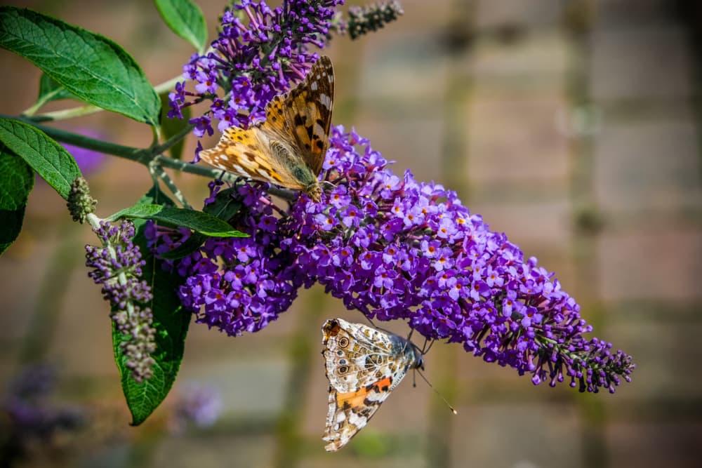 butterflies sat on buddleja flowers