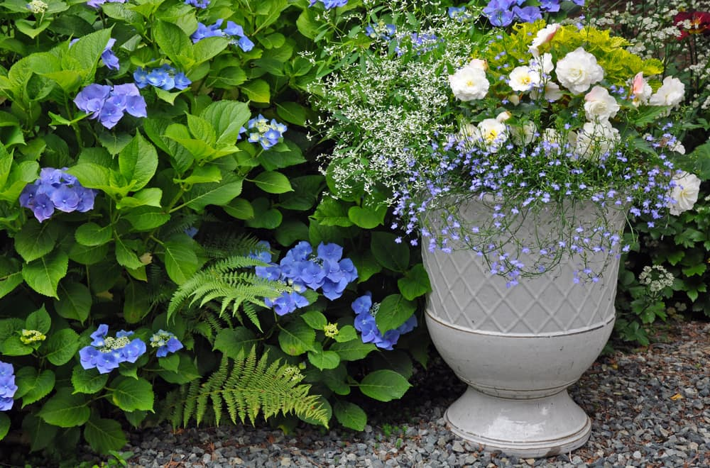 peonies in a ceramic planter with hydrangea shrubs in the background
