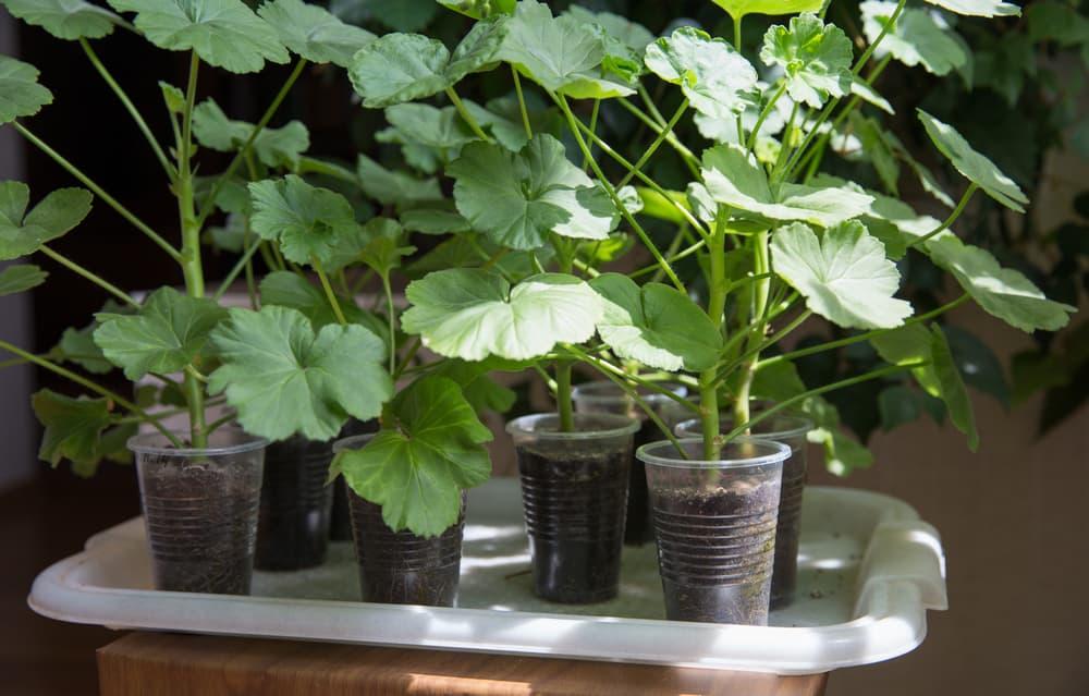 geranium plants thriving in plastic cups