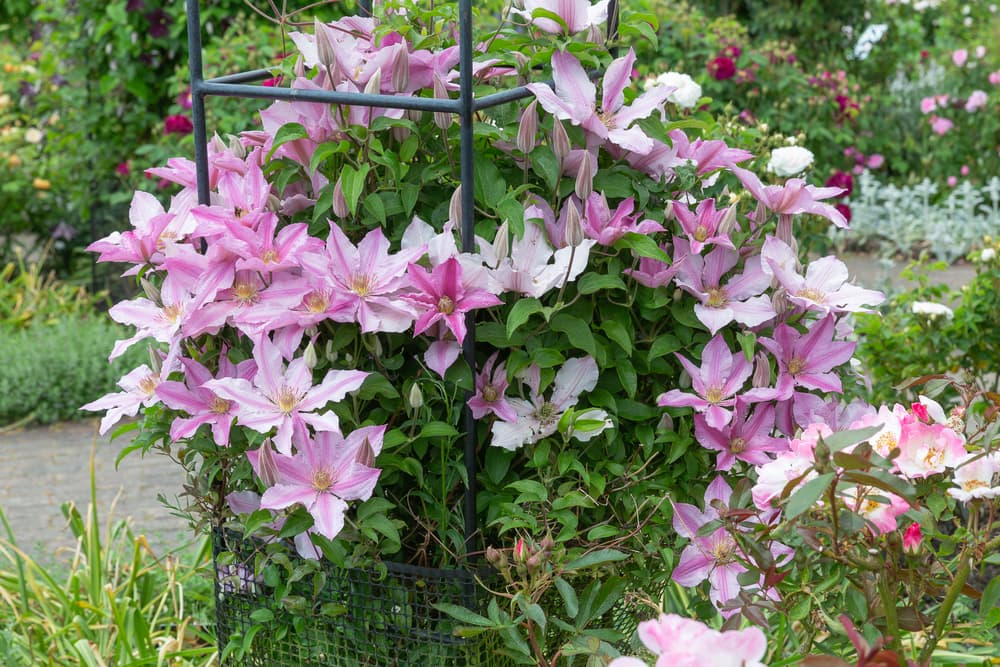 pink clematis growing against an obelisk