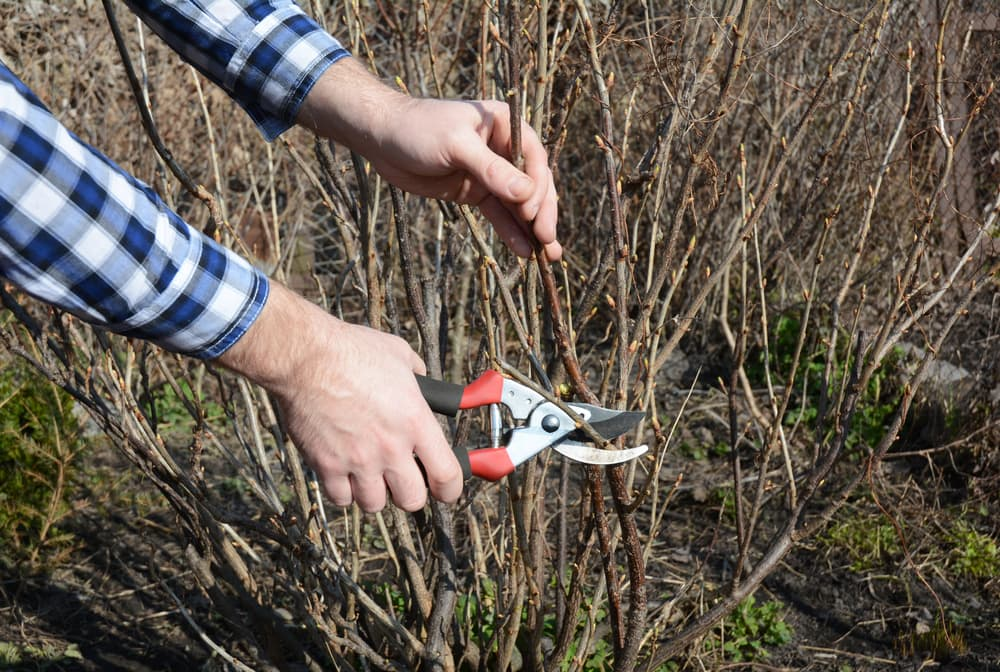 pruning a blackcurrant shrub with secateurs