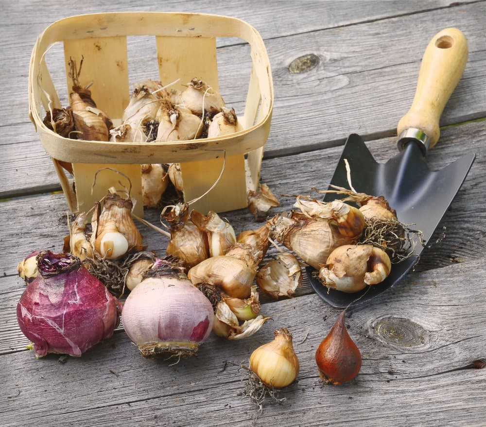 various types of bulbs sat on a wooden table with a basket and trowel