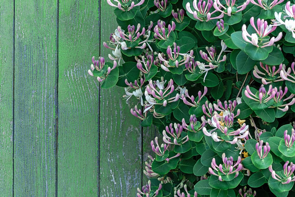 Lonicera caprifolium growing against a mildew covered fence