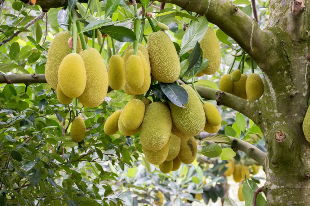 jack fruits hanging from a tree branch