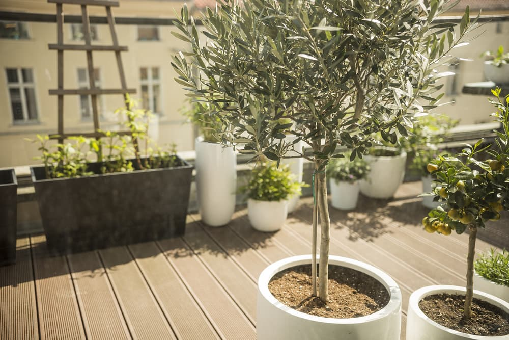 a balcony terrace with olive and lemon trees growing in white garden containers