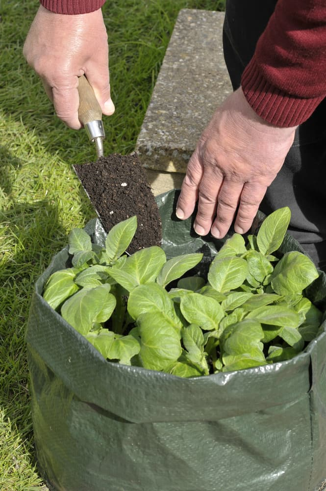 gardener topping potatoes with extra compost