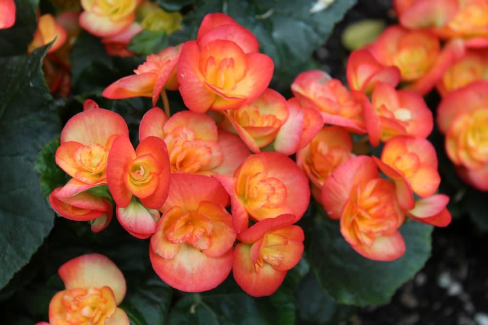 orange reiger begonias