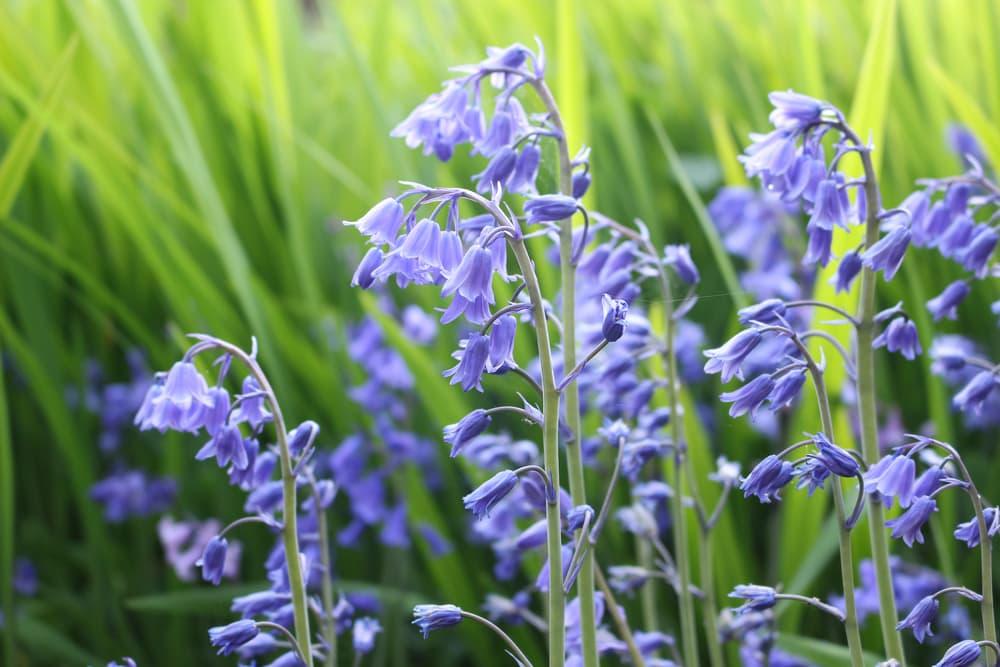 flowering bluebells