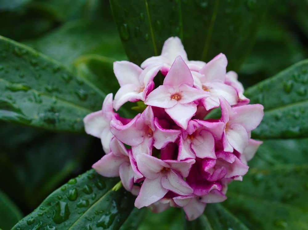 Daphne odora in full bloom