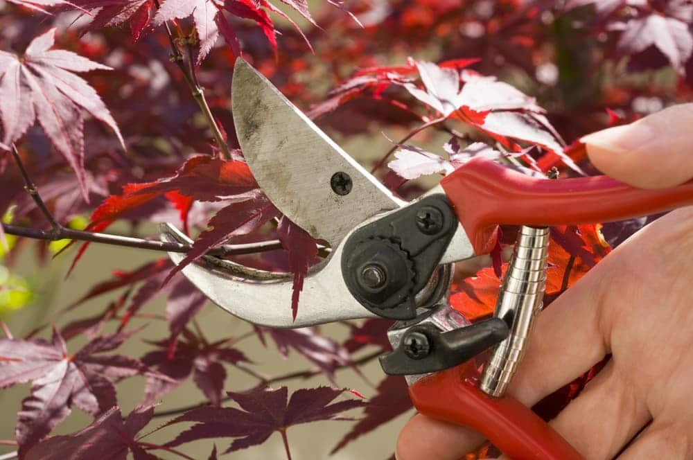 using secateurs to prune acer tree branches