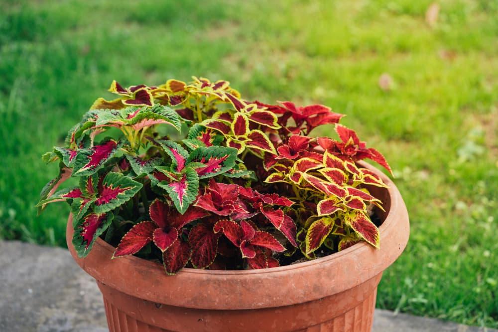 coleus plants in differing colours in a terracotta planter