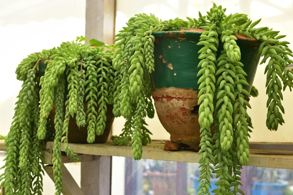 burro's tail plants sat in pots on a shelf