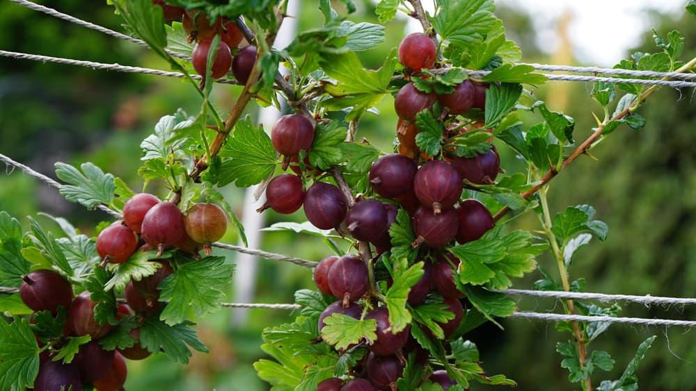Hinnonmaki Red Gooseberries