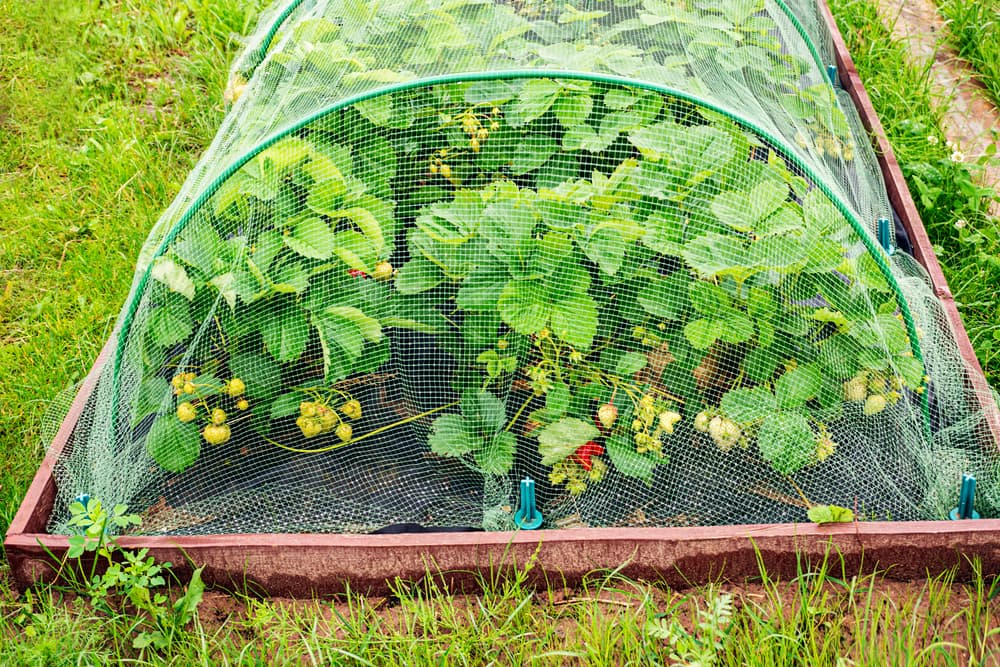 strawberries grown in raised beds with a net for protection